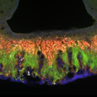 Neural projections in the mouse brain