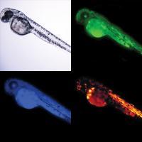 Living Zebrafish Embryos